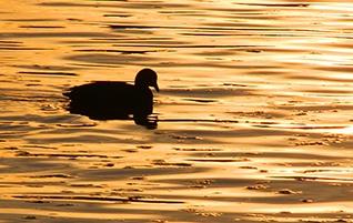 IMG_0184-scenic-duck-image